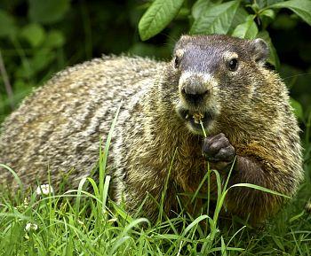 A groundhog (not Phil). Photo: Shenandoah National Park, flickr.com/photos/snpphotos/9600010052